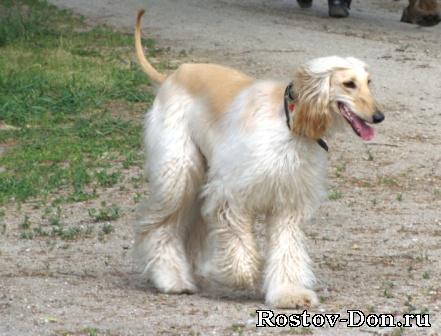 Охотничьи собаки: борзые, гончие, лайки, легавые, норные